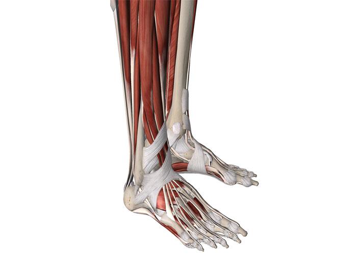 anatomia-del-tobillo